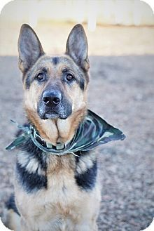 Pictures of Dino a German Shepherd Dog for adoption in Bellingham, WA who needs a loving home.