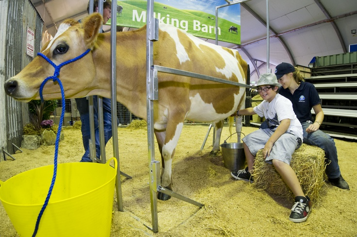 Milking at the Dairy barn - 2012 Sydney Royal Easter Show