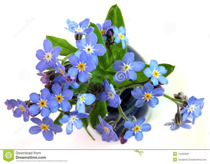 clip art forget me not flower - photo #40