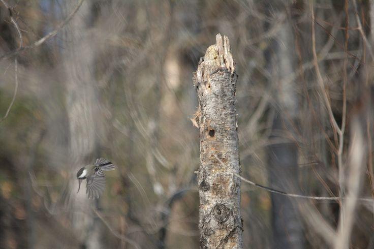 Chickadee takes off