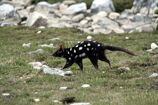 A quoll appears to check out passing hikers near Cradle Mountain