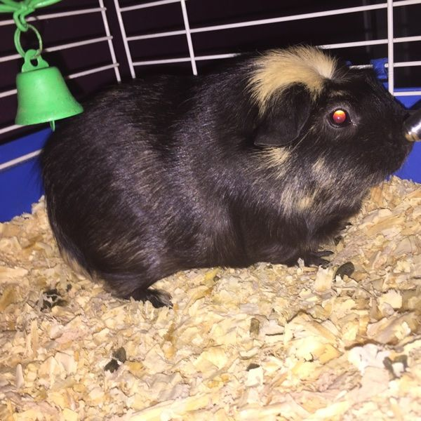 how to tell male guniea pig from female
