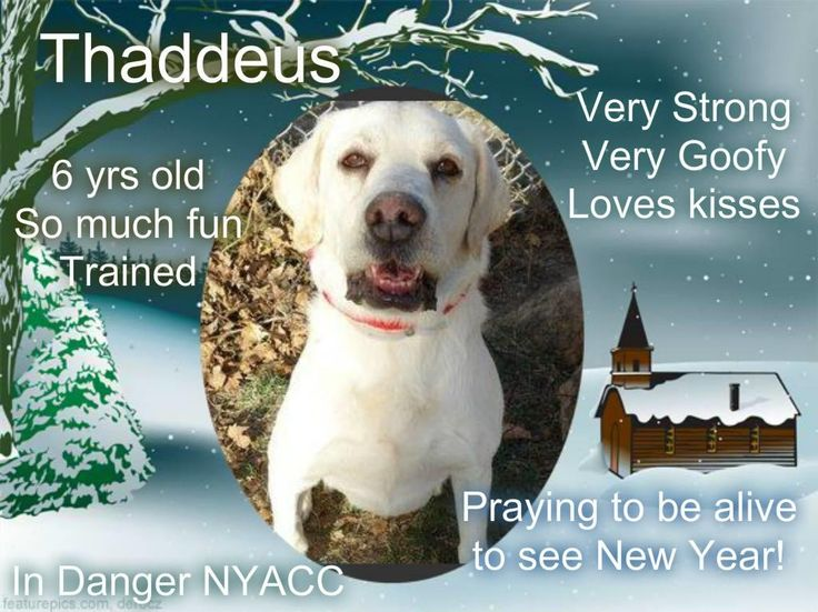 THADDEUS – A1099807 Very beautiful well cared for Golden Retriever is on death row! Rescue Only, needs foster! All costs are covered, which means you must go through a rescue partnered with the shelter to foster or adopt. You must contact the Help Desk of this page by Emailling them @ helpdogs@urgentpodr.org. They will help and guide you with which rescue applications to fill out. They know which rescues are pulling. They will make the process go as quick and as smooth as possible