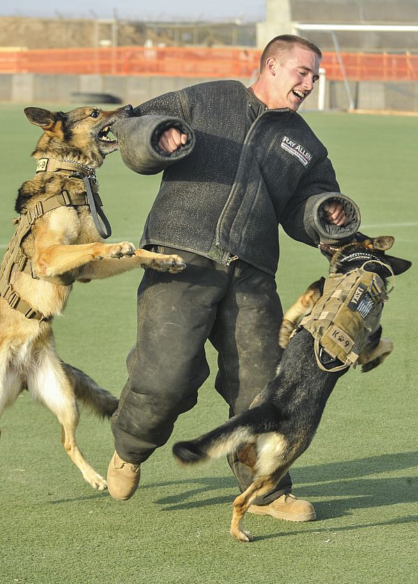 Military working dogs Fergina, left, and Leska take down Master-at-Arms 2nd Class John Winjum, a military working dog handler, during training at Camp Lemonnier, Djibouti. Training maintains the dog's proficiency in subduing suspects.
