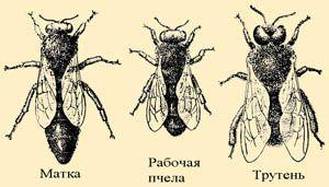 Медоносные пчелы — насекомые общественные. Пчелиная семья состоит из 20—80 тыс. рабочих пчел, одной матки и нескольких сотен трутней. Каждая пчелиная семья имеет свой уклад жизни и проявляет нетерпимость по отношению к представителям других семей.   Матка — «королева» пчелиной семьи      Матка — главная женская особь пчелиной семьи, без нее невозможно пчеловодство в принципе. По внешнему виду ее легко отличить от рабочих пчел — она в полтора — два раза крупнее их.