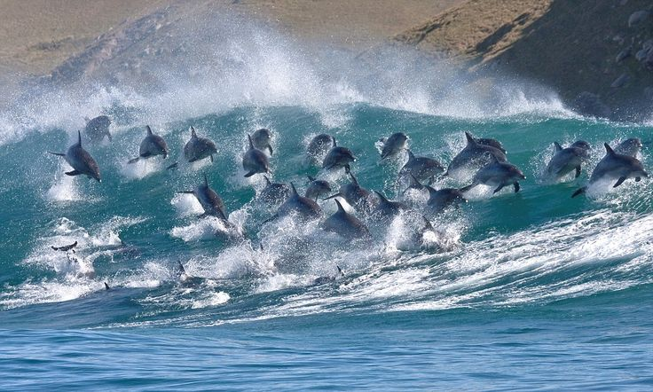 Surf's up! Pod of 40 bottlenose dolphins ride 8ft-high waves along South African coast