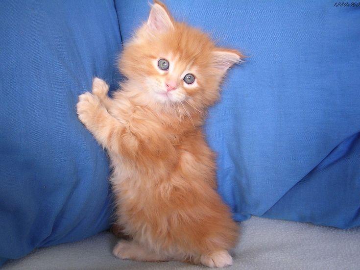 1000 id es sur le th me b b roux sur pinterest les - Photo de chaton rigolo ...