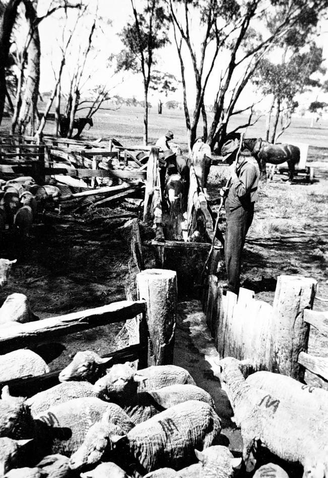 Dipping Sheep, Wonwondah, Victoria, circa 1925
