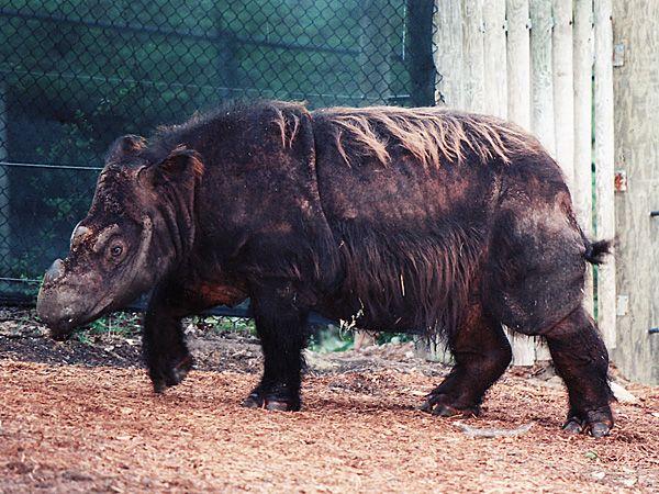 Sumatran Rhinoceros-Endangered animals list-Our endangered animals | KONICA MINOLTA