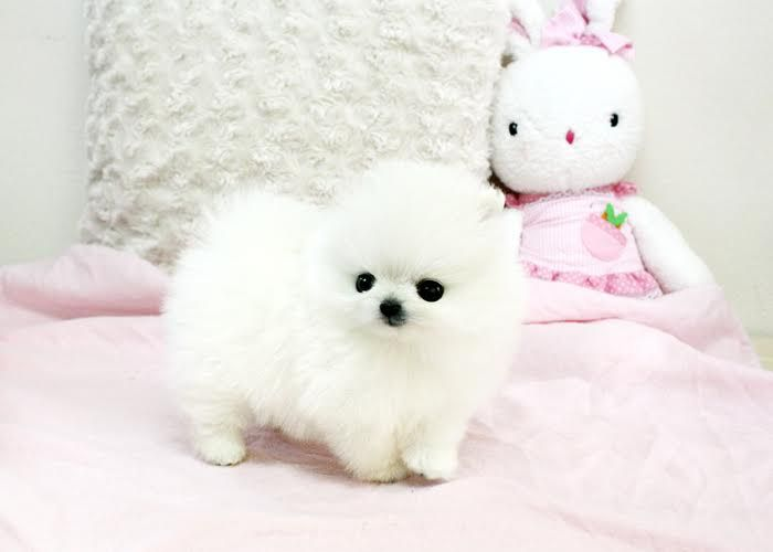 White Teacup Cheap Pomeranian Puppies For Sale In Usa And Canada Pomeranian Puppy For Sale Pomeranian Puppy Pomeranian Puppy Teacup