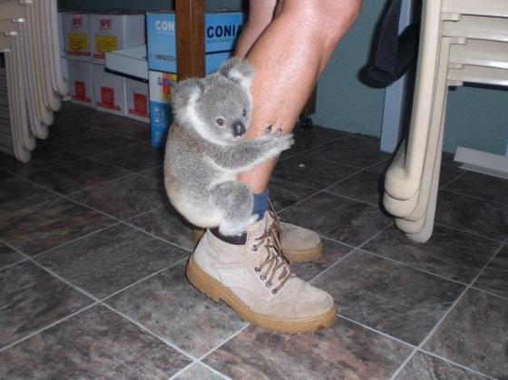 Clinging koala: Legs Warmers, Baby Koalas, Animal Kingdom, Funny Pictures, Pet, Cuti, Baby Animal, Funny Animal, Koalas Bears