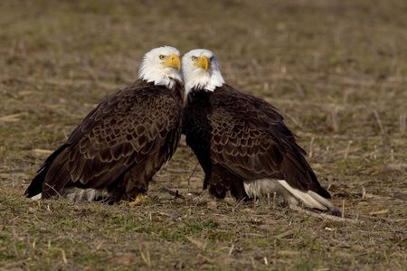 Bald Eagle Pair Photo by Larry Hitchens -- National Geographic Your Shot