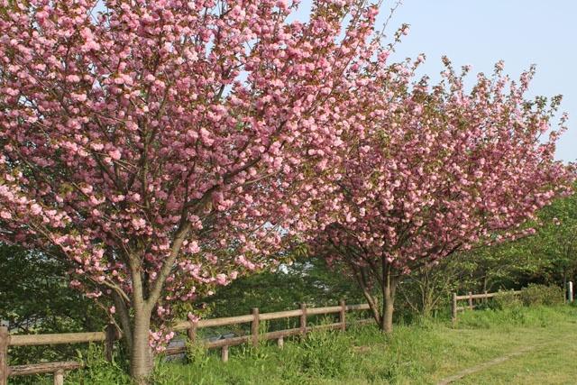 Cherry blossom(関山)