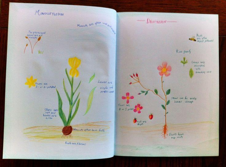 Waldorf ~ 5th grade ~ Botany ~ Monocotyledon & Dicotyledon ~ main lesson book