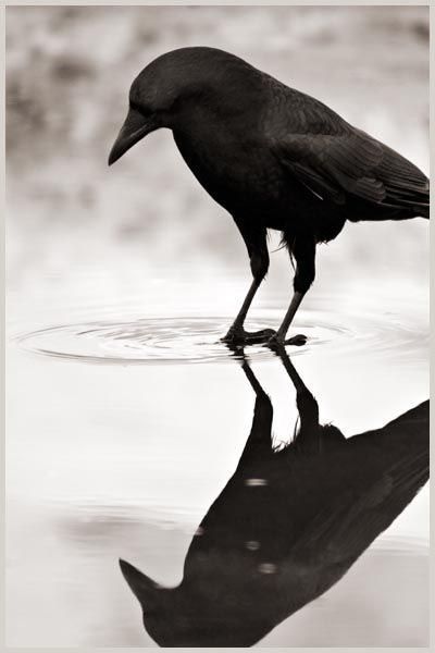 Narcissus (Photography by Larry Blackwood, from his 'Opus Corvus' series)