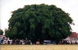 7 Pohon Tempat Tinggal Favorit Hantu