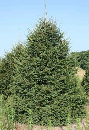 12' foot Norway Spruce