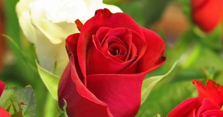 El Huerto en Macetas: Como podar un rosal