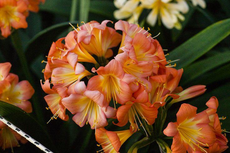 Clivia miniata, Not Holmes Red.  Colorado Clivia's plant no. 11A.