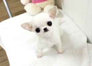 Baby Frannie ~ Teacup chihuahua WHAT THE HECK?!?! I'm crying it's too cute! #chihuahua #chihuahuatypes #chihuahuadogs
