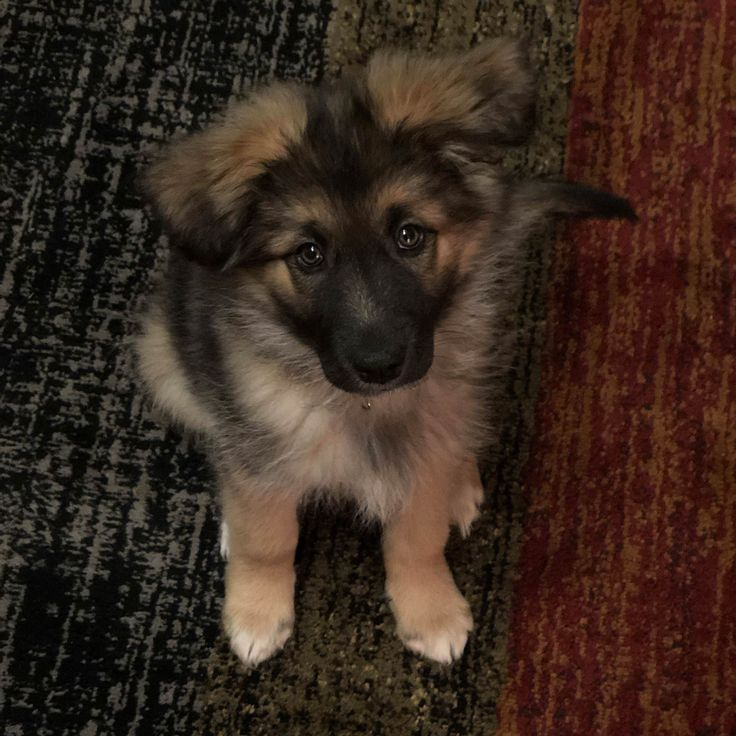 Meet Sasha our rescue GSD mix!...Storyful Dog (Best