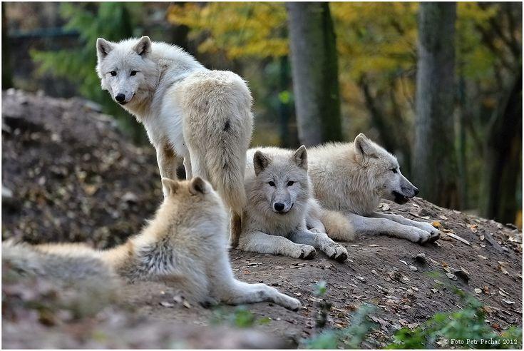 Vlk arktický - Zoo Brno | Petr Pechač