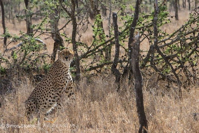 Cheetah in Kenya's Laikpia - an area comparable to the Mara for wildlife densities