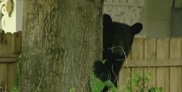La policía persigue un oso negro por ciudad de New Hampshire