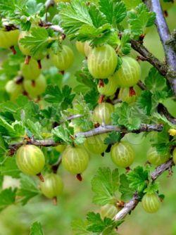 Tratament naturist cu extracte din planta medicinala agris.