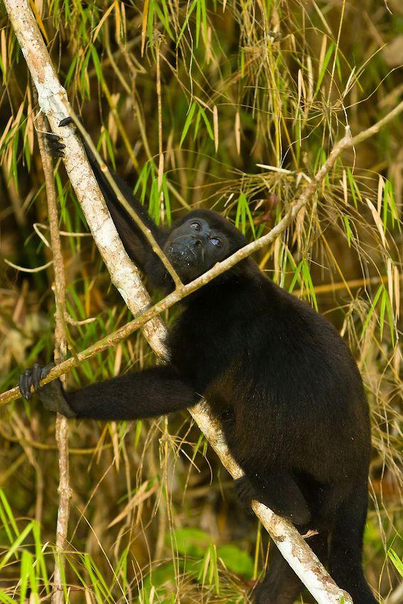 Howler monkey at Monkey Island, Panama Canal (Gatun Lake)_Panama