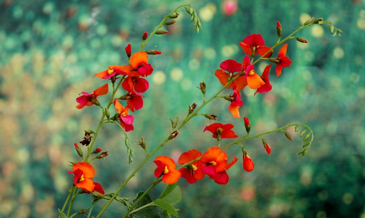 Heart leaf flame pea, Chorizema cordatum. Photo: D. Blumer.