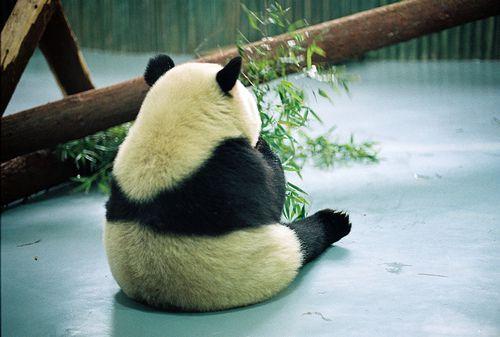 哀愁Favorite Places, Pandas Pandas, Giants Pandas, Black White, Sadness Pandas, Pandas Bears, Random Pin, Fur Baby, Adorable Animal