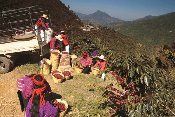 Coffee harvest in Guatemala