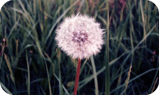 Dandelion wish...