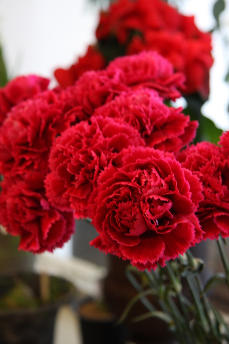 carnations....my Dad's favorites...I used to send them to him on his Birthday.......what a great memory every time I see a red carnation.