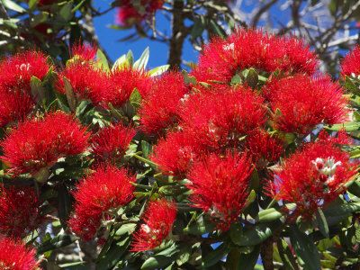 Pohutukawa Flowers, New Zealand - our Xmas tree