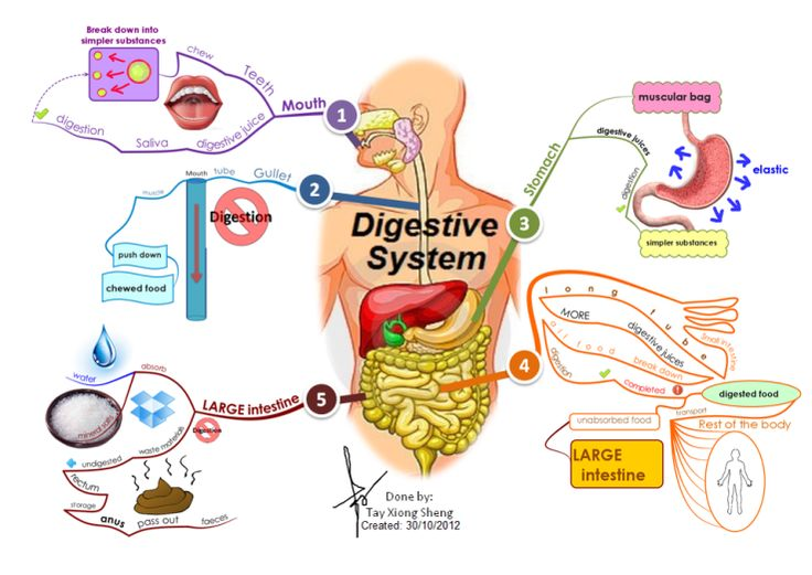 human digestion coursework Start studying human digestive system learn vocabulary, terms, and more with flashcards, games, and other study tools.