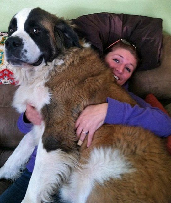 Smile for the Camera; I LOVE this picture!  Used to have three of these huge lovelys!  GREAT DOGS!!!