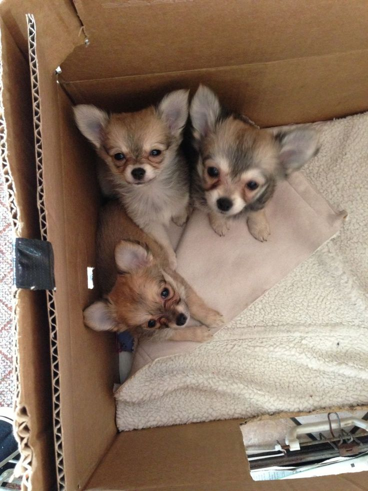 Chihuahua Pomeranian Mix- they look like foxes in a box