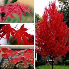 25pcs américain graines d'arbres d'érable rouge