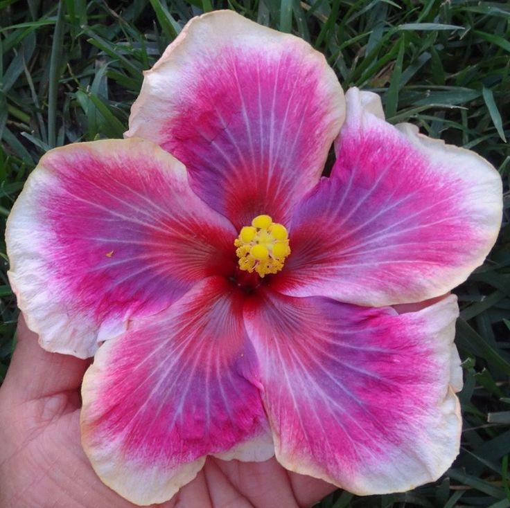 """Hibiscus """"Moorea Imperial Blossom"""""""