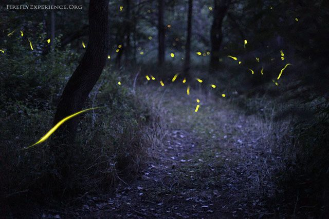 """""""Magical Forest"""" (fireflyexperience.org)"""