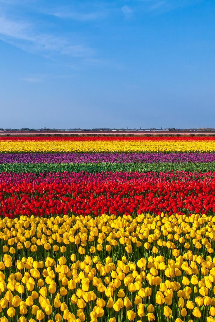 Windmills & Tulip Fields. Holland, Netherlands. #visitholland #travel