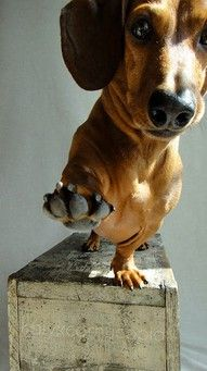 Low five.: Dachshund Dogs, High Five, Weenie Dogs, Dogs Day, Dachshund Puppys, Weiner Dogs, Wiener Dogs, Weights Loss, Sausages Dogs