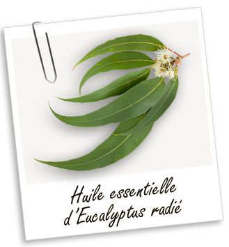 Huile essentielle Eucalyptus radié : Connue comme expectorante, cette huile est utilisée pour lutter contre les problèmes respiratoires et rhinites allergiques. Tonique et rafraîchissante, elle est également connue pour clarifier les idées. / Infections respiratoires (préventif ou curatif) : bronchites, rhino-pharyngites, rhinites, sinusites…