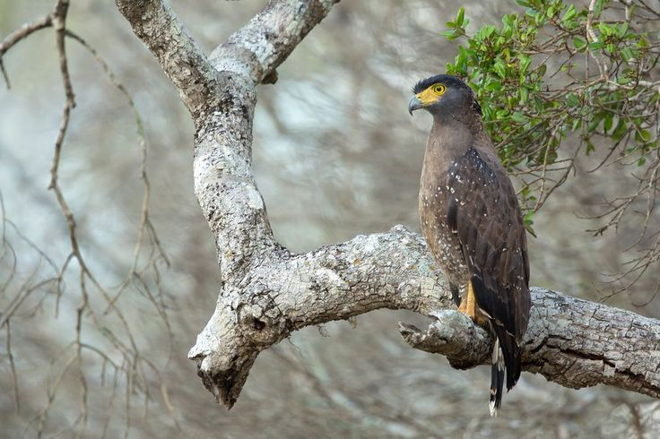 Crested Serpent Eagle Photo by Milan Zygmunt — National Geographic Your Shot