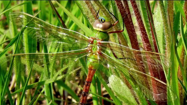 Dragonflies crowding Chicagoland on their way South