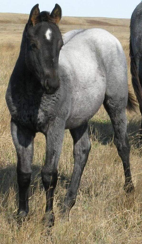 True Blue Roan AQHA colt                                                        So pretty
