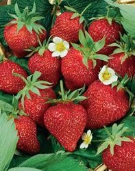 Growing strawberries indoors :)