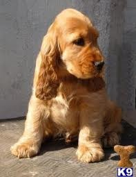 golden cocker spaniel puppies - Google Search